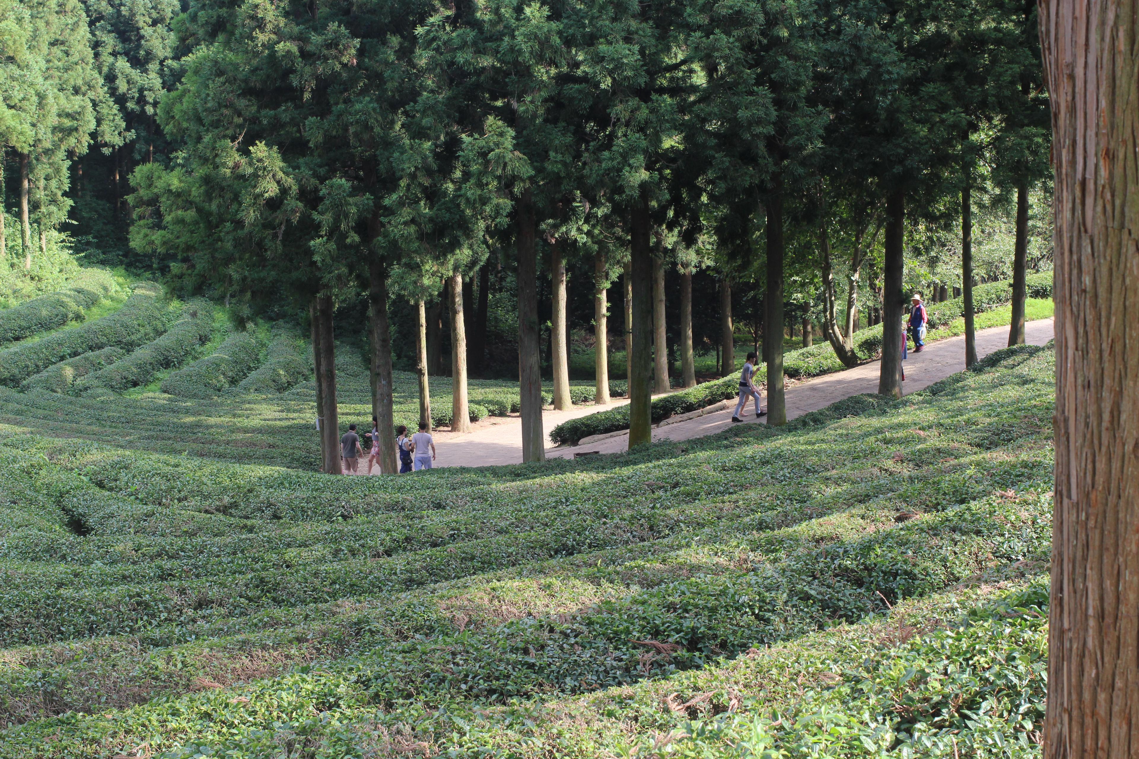 Serenity in Korea- Boseong Green Tea Fields