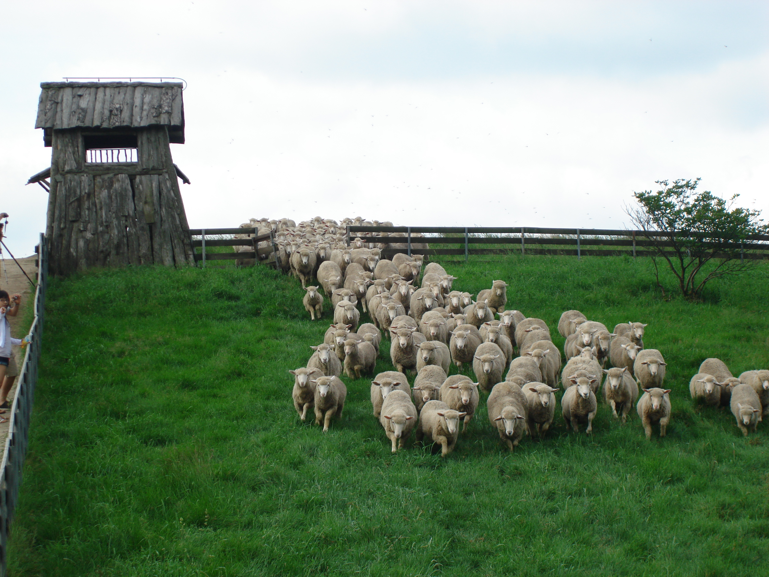 Dae Gwal lyoung , a flock of sheep ranch .