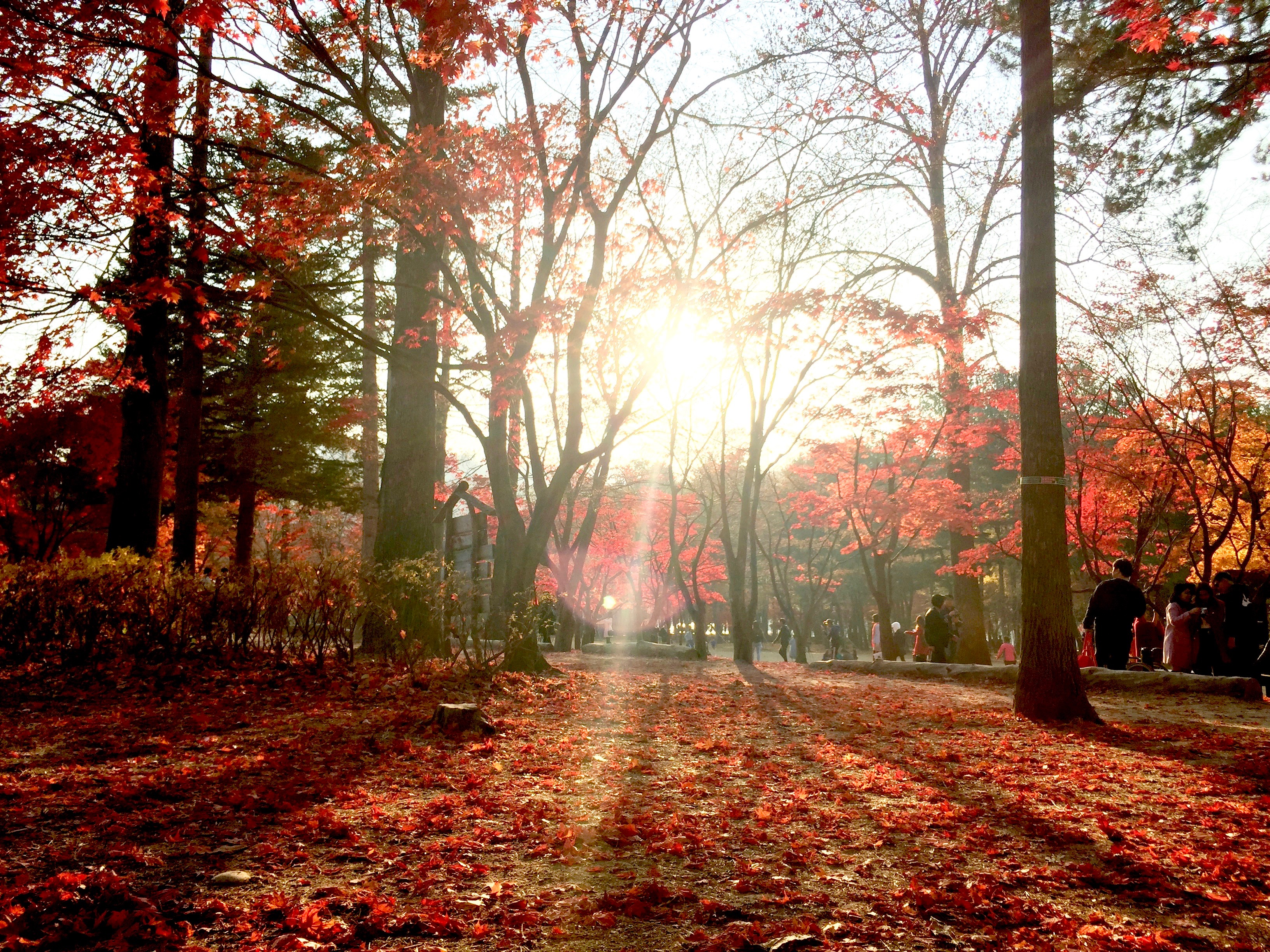 Autumn foliage in Nami Island (남이섬)