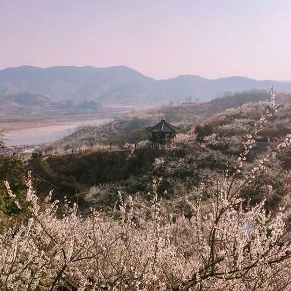 2018 Beautiful Flower Festivals In Korea