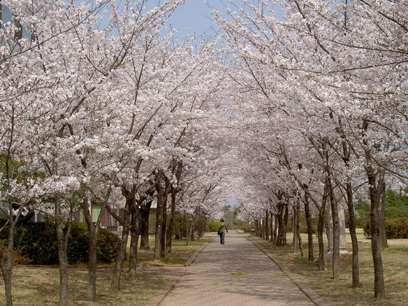 Cherry Blossoms Tours at BnBHERO!