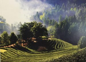 Only in Spring: Boseong Green Tea Festival
